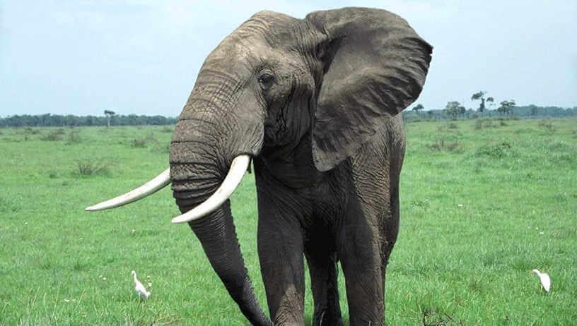 Bull Elephant in Zimbabwe, Africa