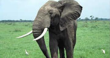 Thumbnail image of large elephant in Africa