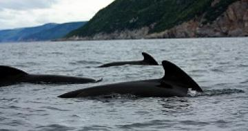 Thumbnail image of Whale Watching from Nova Scotia